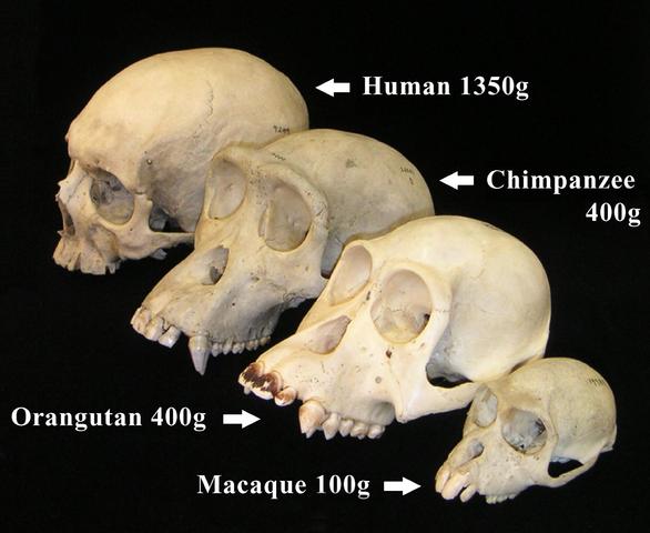 Source: https://en.wikipedia.org/wiki/Paleoneurology